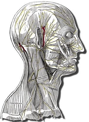 Head and neck anatomy showing superficial nerves